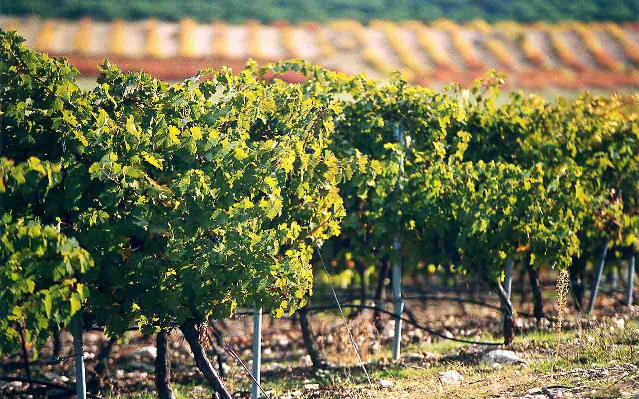 wine cellar grows in the Alpujarras, granada